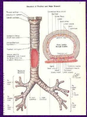 Anatomi Saluran Nafas