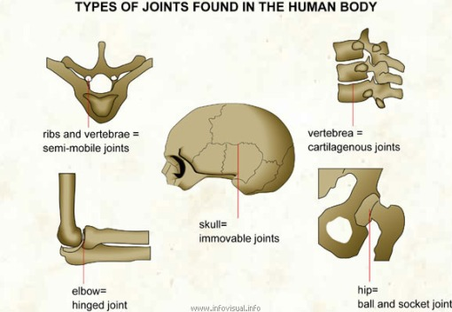 026 Types of joints found in the human body