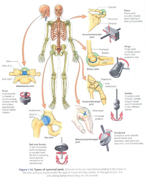 synovial_20joints